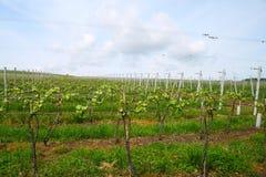 Land mit Weinberg auf sonnigen Hügeln Lizenzfreies Stockfoto