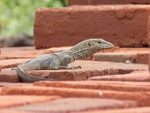 Land Monitor(Varanus bengalensis) Stock Photos