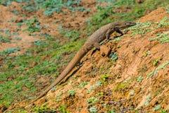 Land Monitor walking in Uda Walawe national park royalty free stock photo