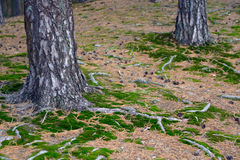 Land near the trunks of pine trees Royalty Free Stock Images