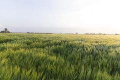 Land planted with wheat. Wide angle view of field planted with wheat Stock Image