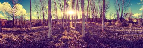 Land populated by poplars. Stock Images