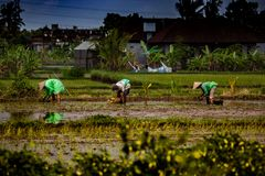 Rice field workers royalty free stock photo