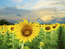 Land scape of agriculture of sunflowers field against beautiful Stock Photos