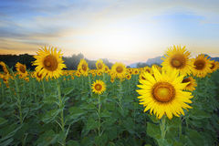 Land scape of agriculture of sunflowers field against beautiful. Dusky sky background Stock Image