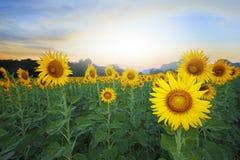 Land scape van landbouw van zonnebloemengebied tegen mooi stock afbeelding