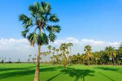 Land scape view of Toddy palm and ricefield Stock Photography