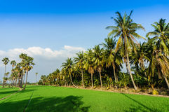 Land scape view of Toddy palm and ricefield Stock Images