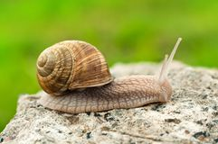 Land snail Royalty Free Stock Images