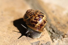 Land snail Stock Image