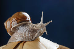Land snail Stock Photo