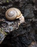 Land snail crawling on wet rock ledge and looking down Stock Images