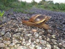 Land Snail Royalty Free Stock Image