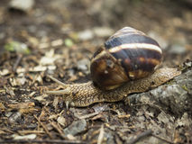 Land Snail Royalty Free Stock Photography