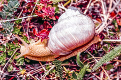 Land snail in grass Stock Images