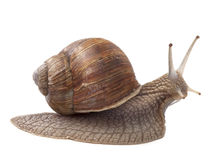 Land snail Royalty Free Stock Image