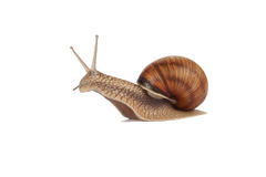 Land snail isolated Royalty Free Stock Photos