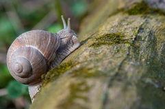 Land Snail Royalty Free Stock Photo