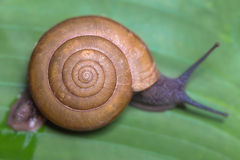 Land Snail moving on banana leaf Stock Images
