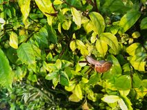 Land snail is moving on the green leaves. Beauty in nature. Picture with copy space royalty free stock image