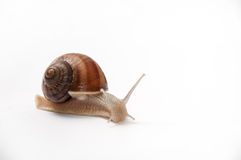 LAND SNAIL. OVER WHITE BACKGROUND Royalty Free Stock Photo