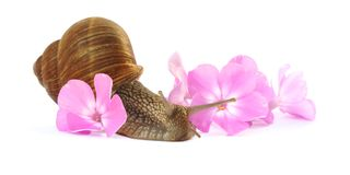 Land Snail and Phlox Blossoms. A large brown snail surrounded by pink phlox blossoms Royalty Free Stock Image