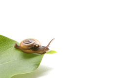 Land Snail, Sarika snail pest of orchid, in front of white backg Royalty Free Stock Photos
