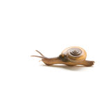 Land Snail, Sarika snail in thailand on white background Royalty Free Stock Photography