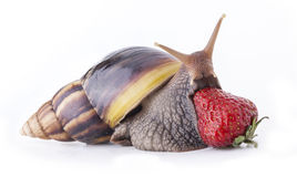 Land snail and strawberries. Giant African land snail (Achatina fulica) eating strawberries, isolated on a white background Royalty Free Stock Photos