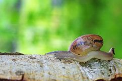 Land snail on tree bark Royalty Free Stock Images