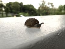 Land snail on white wall Royalty Free Stock Photography