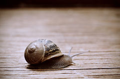 Land snail on a wooden surface Royalty Free Stock Photos