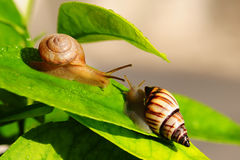 Land Snails. Encounter of two young Land Snails on a green plant Stock Image
