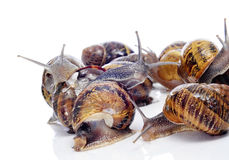 Land snails Stock Image