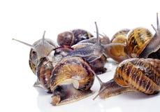 Land snails Stock Image