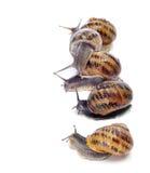 Land snails Stock Photo