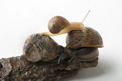 Land snails playing together. Some snails on the small rock isolated on white Stock Image