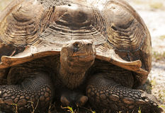 Land tortoise Stock Images