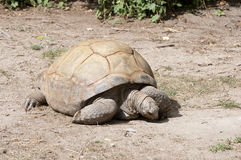 Land Tortoise Stock Photography