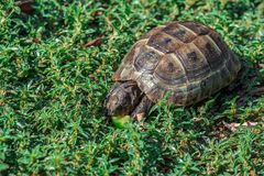 Land tortoise. Land based Central Asian turtle Stock Photography