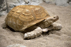 Land tortoise Royalty Free Stock Photos
