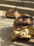 Land tortoise Royalty Free Stock Photo