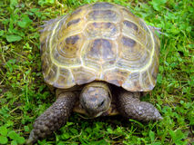 A land tortoise is in a grass Stock Image