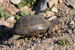 Land tortoise Testudo graeca, Turkey Royalty Free Stock Photo