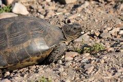 Land tortoise Testudo graeca, Turkey Stock Images