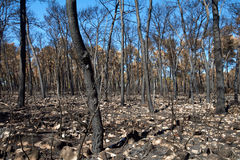 Land with trees after fire Stock Image