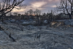 Land with trees after fire Stock Photography