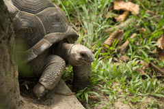 Land turtle. Royalty Free Stock Photos