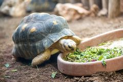 Land turtle eating fresh vegetables