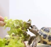 Land turtle eats lettuce, lettuce, reptile, animal eats greens. Land turtle eats lettuce, lettuce, animal eats greens reptile, animal stock photography